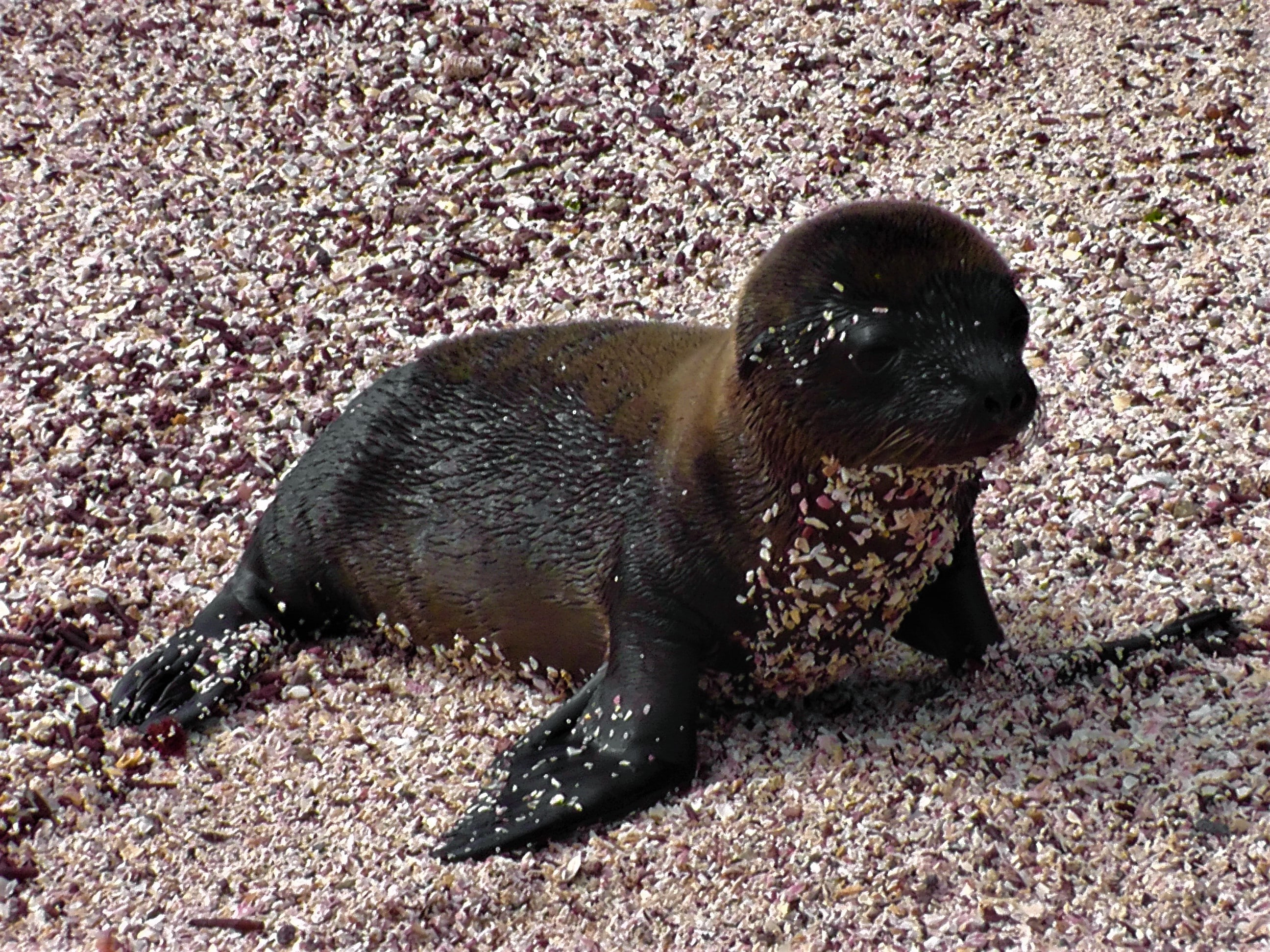 Baby Sea Lion Stands
