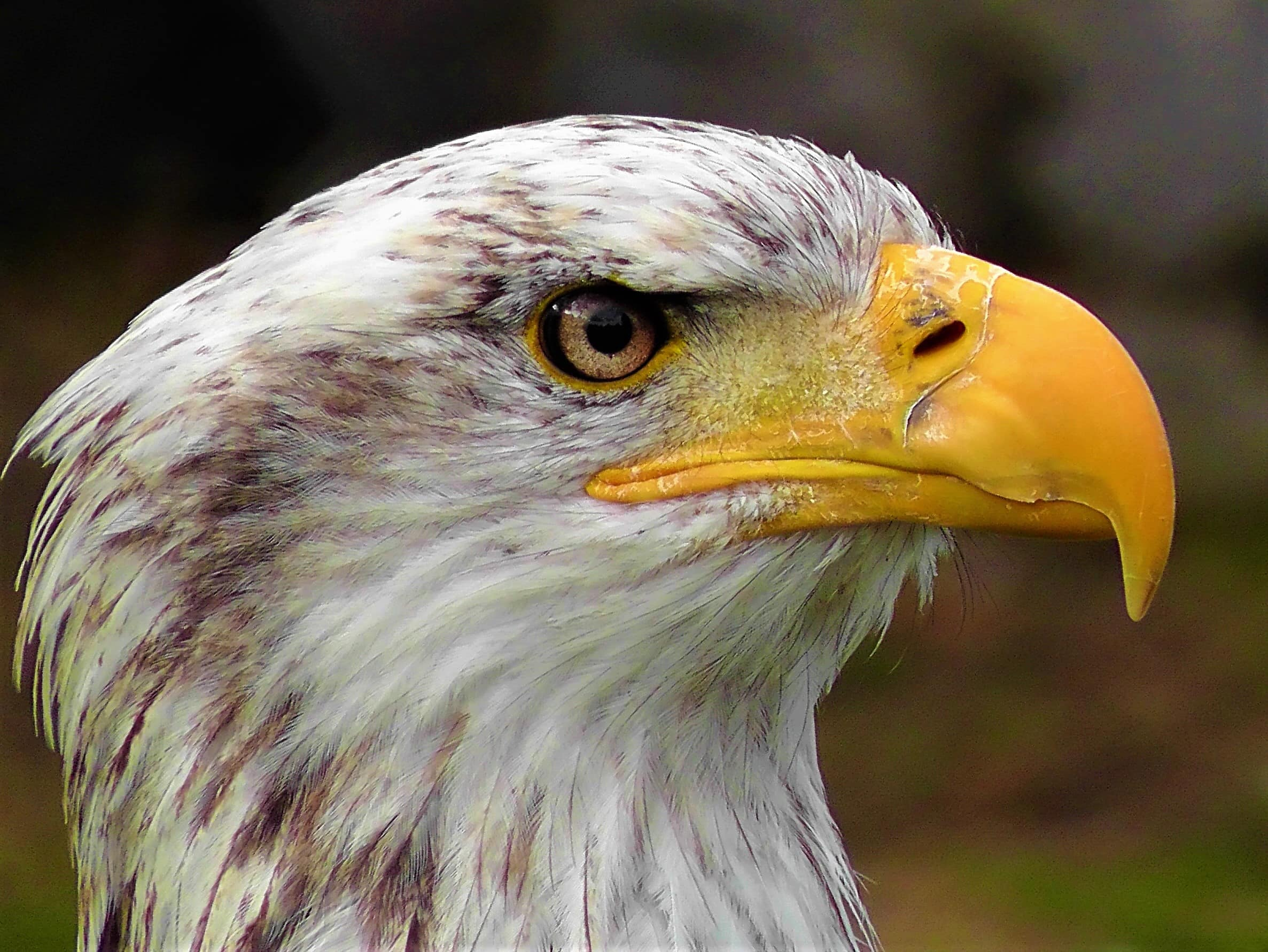 Face of the Bald Eagle