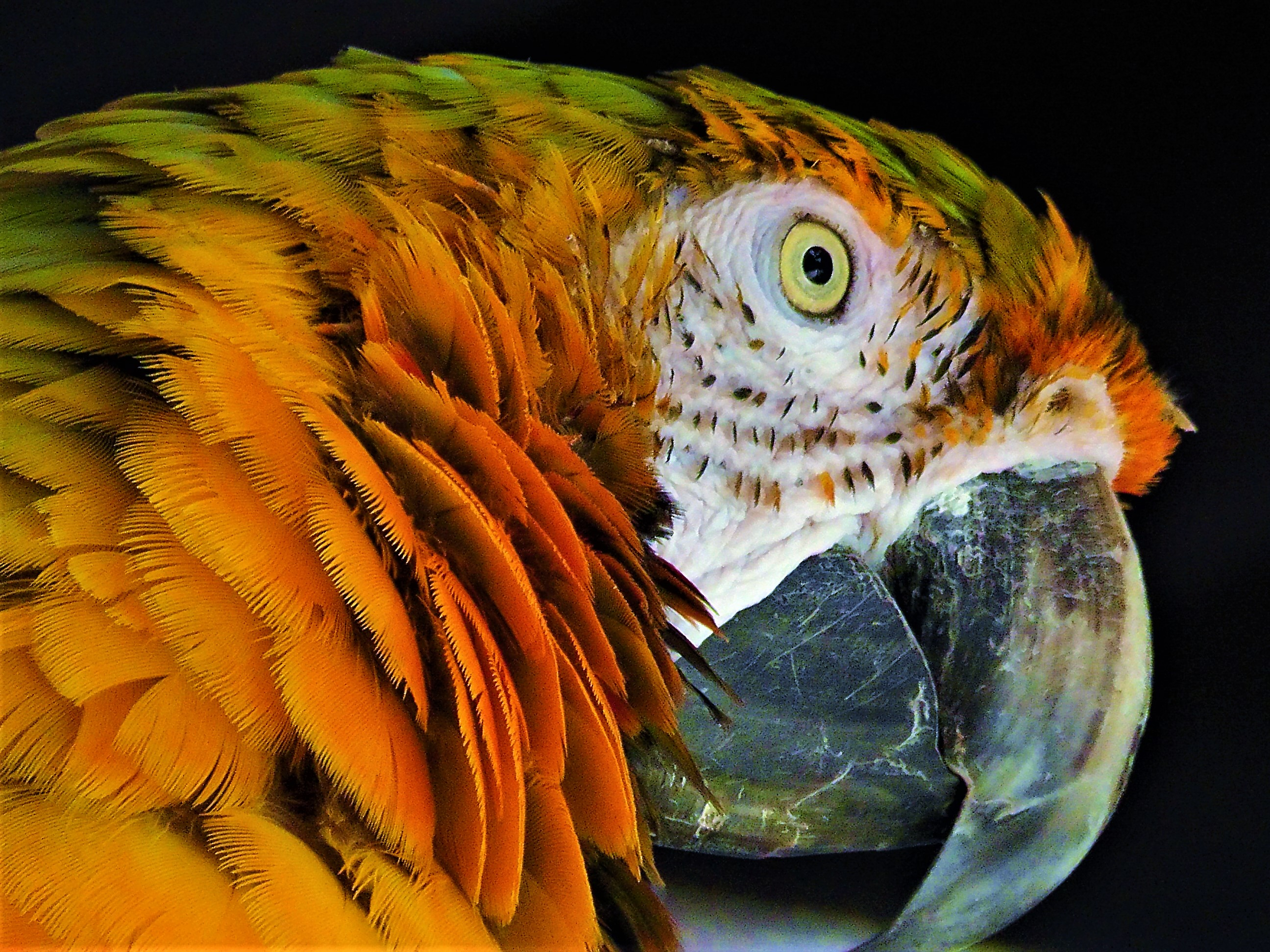 Green and Orange Parrot Face 01
