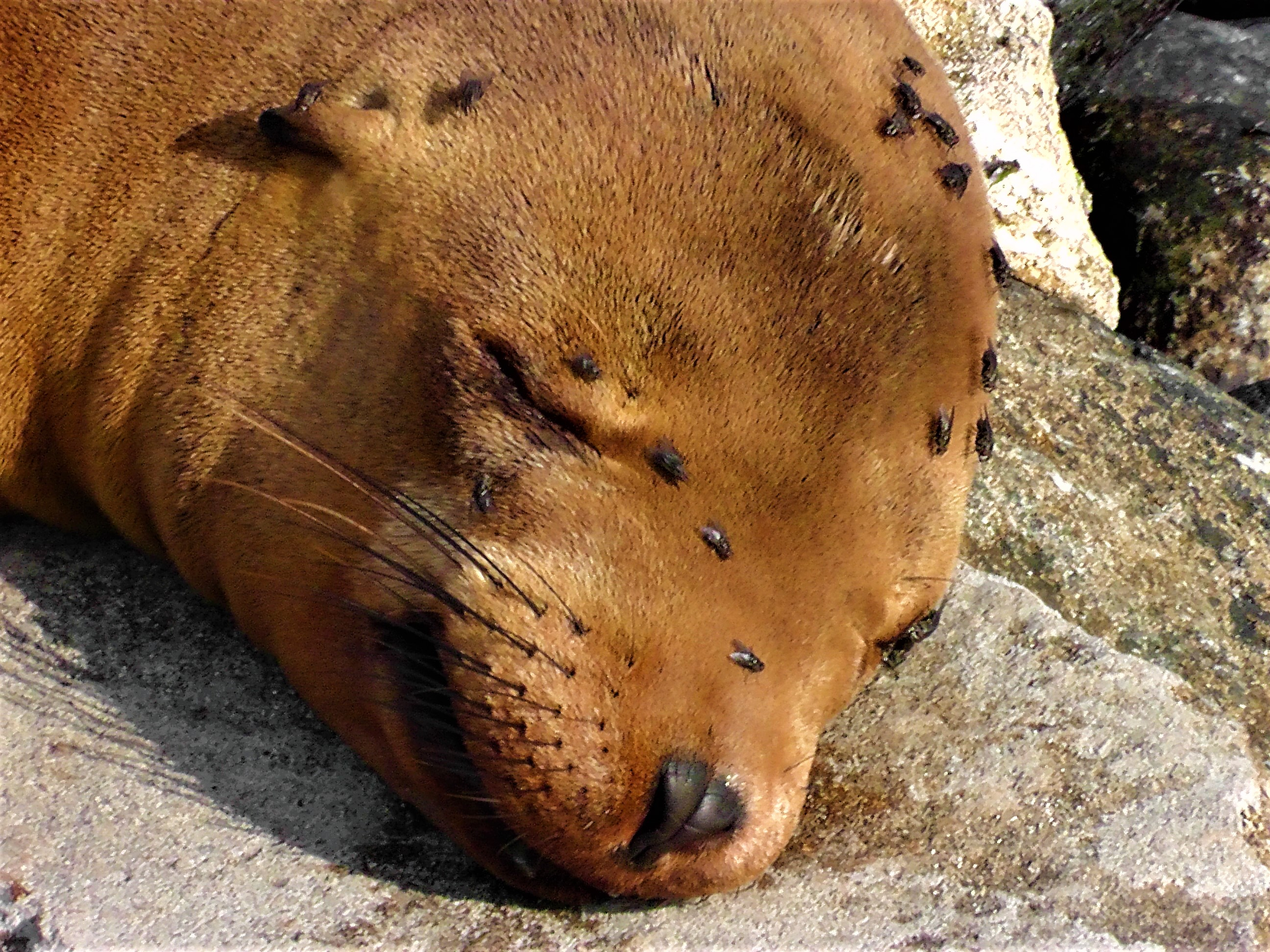 Sleeping Sea Lion Face
