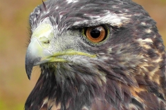 Face of the Hawk