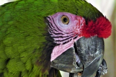 Green and Red Parrot Face