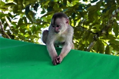 Tiny Monkey on Green Tent